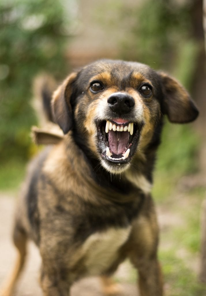 Aggressive, angry dog. According to the CDC, there are more than 4 million dog bites in the U.S. each year.